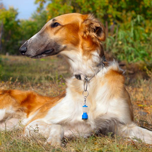 Borzoi dog breed resting outdoors on a grassy field.