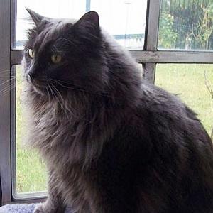 Cymric Cat Breed