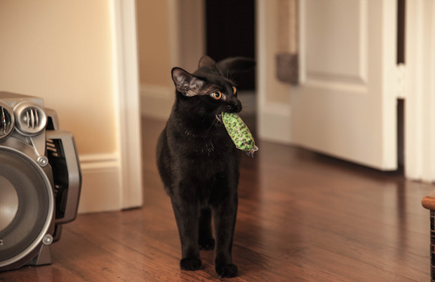 Cat playing fetch with owner