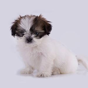 Shih Tzu Dog Breed
