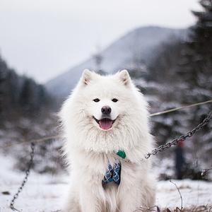 Samoyeds Dog Breed