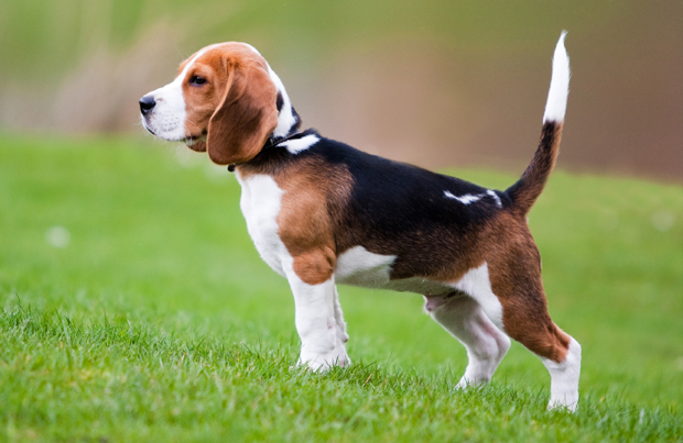 Beagle with beautiful coat standing at attention in a grassy field.
