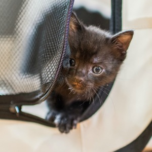Foster kitten in a safe playpen
