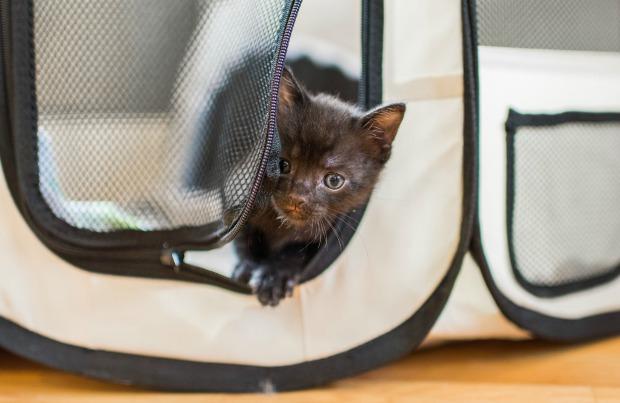 Foster kitten in a safe playpen