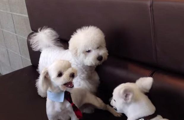 Bichon breaks up dog fight