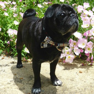 Rosco the pug at the Inn on Mill Creek