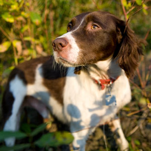 Brittany dog breed in the woods hiking.