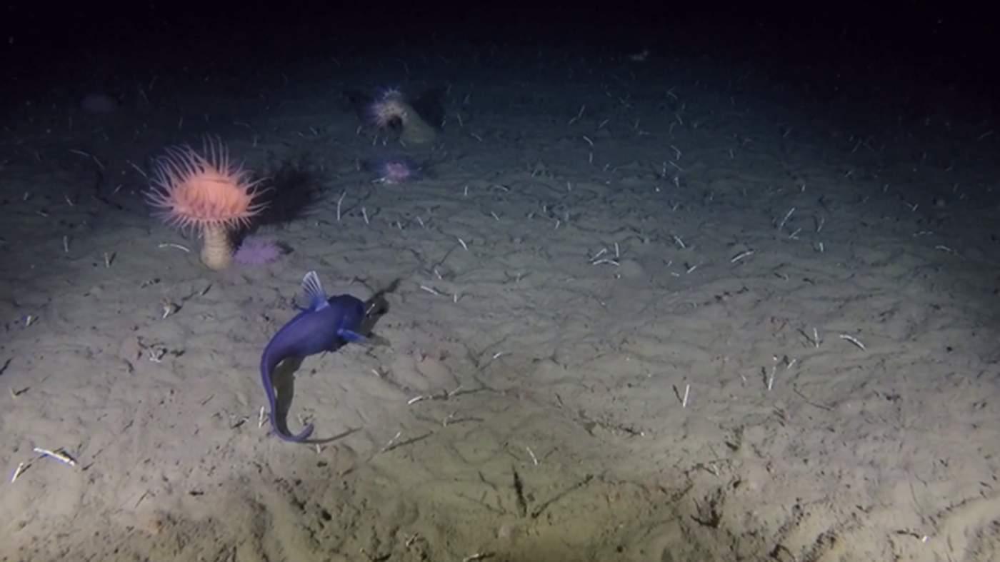 Even at depths beyond 800m, ZSL encountered deep sea fish (Grenadier) captures on video © ZSL