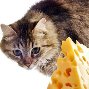 Cat looking at cheese