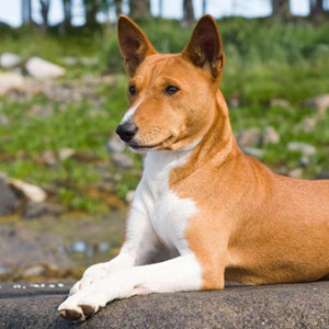 Basenji dog relaxing on a rock with ears perked up