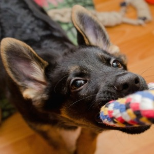 Dog playing with homemade rope toy.