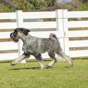 Standard Schnauzer Dog Breed