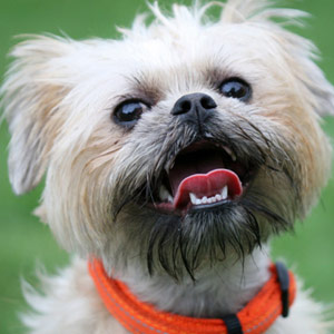 Brussels Griffon dog with a huge smile.