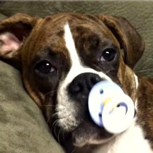 Boxer puppy Princess Leia sucks on a pacifier