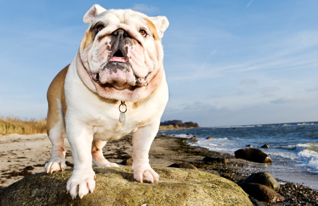 English Bulldog overlooking the water on a beach rock.