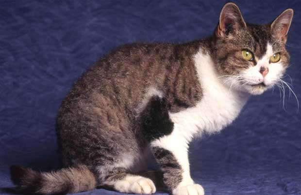 American Wirehair with healthy coat and long whiskers