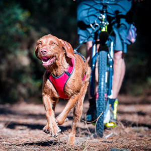 Wirehaired Vizsla Dog Breed