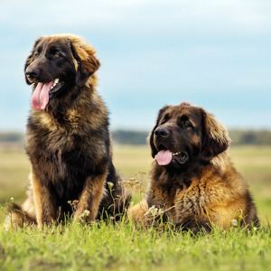 Two Leonberger dogs.