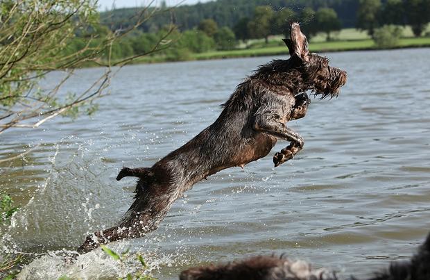 Spinone Italianos Dog Breed