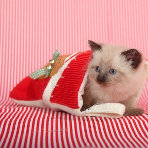 Kitty in a Christmas stocking