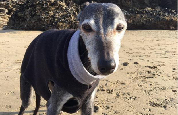 Walnut the dog on the beach.