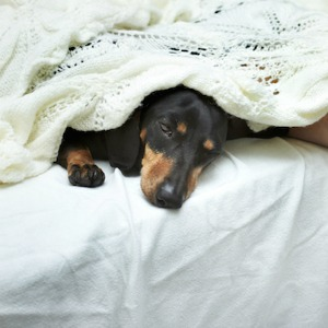 Dog sleeping in bed with owner.