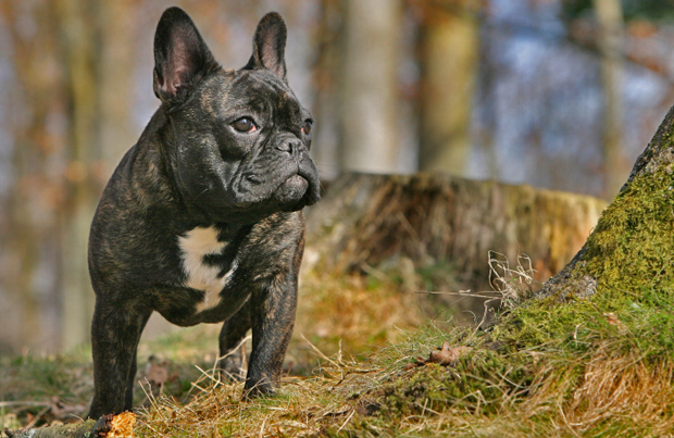 French Bulldog outside