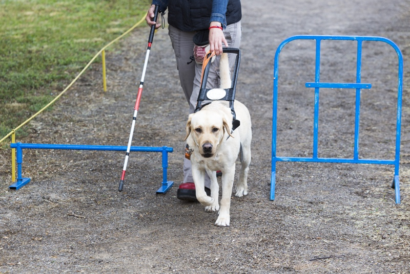 Guide dog with owner being trained