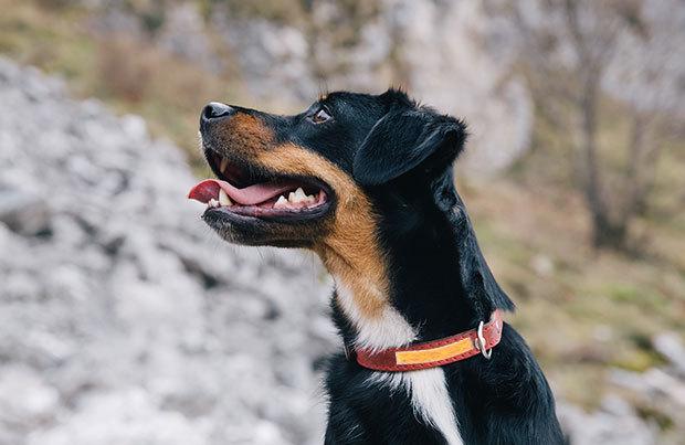 Dog-walking essentials: reflective collar