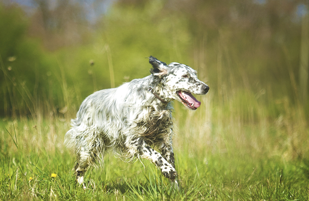 English Setter Breed