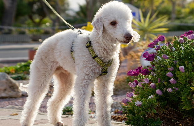 Bedlington Terrier stopping to smell the flowers while being led around the neighborhood.