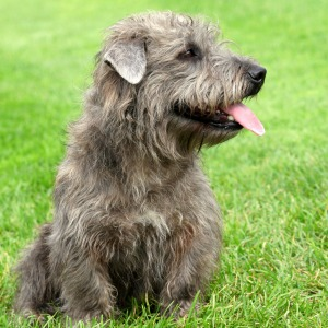 The Glen of Imaal Terrier
