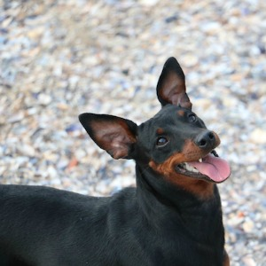 Miniature Pinscher dog breed.