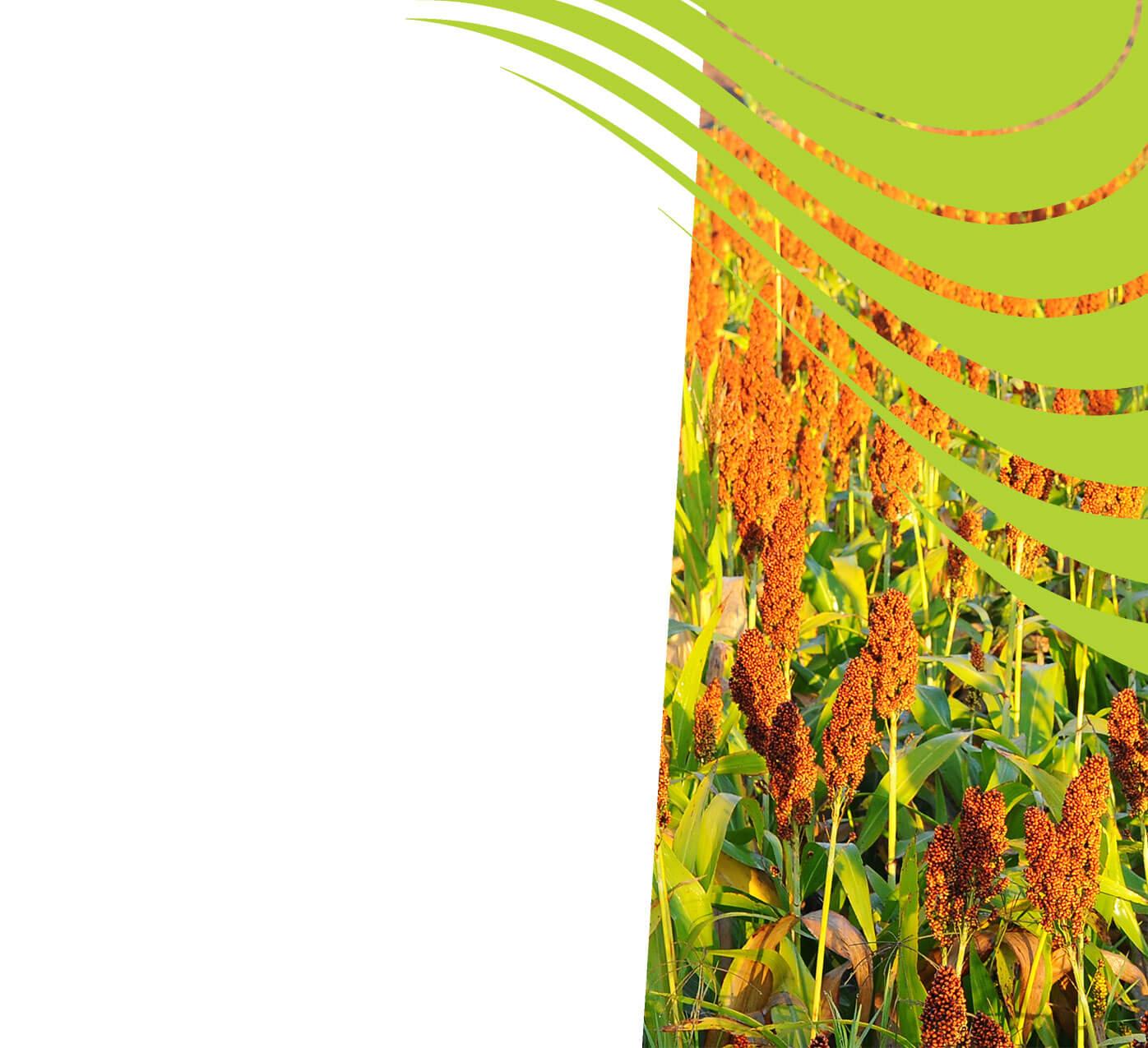 fertiliser for sorghum
