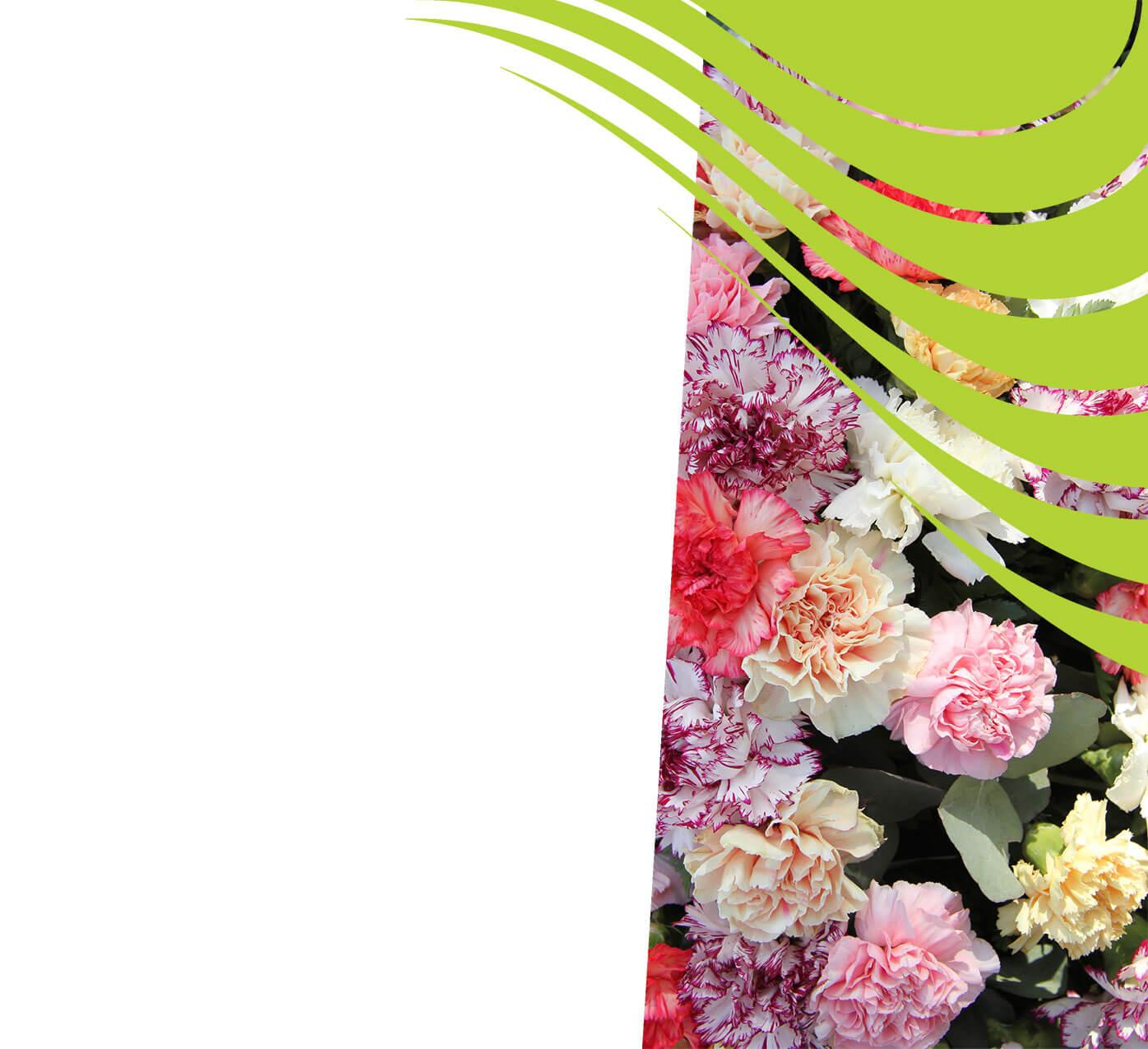 fertiliser for carnations