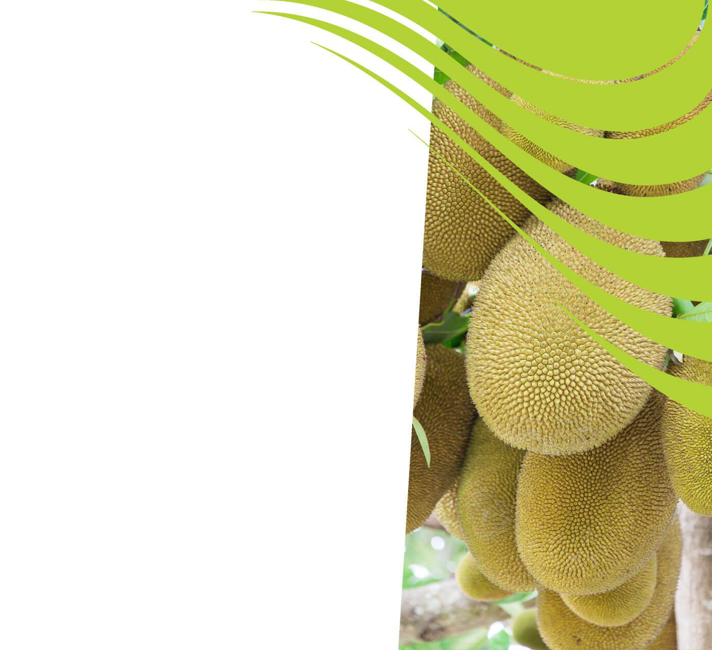 fertiliser for jackfruit