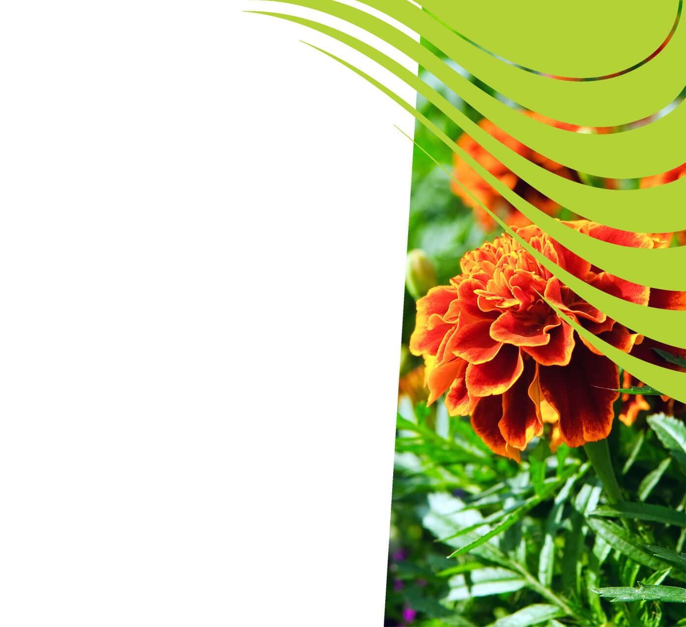 fertiliser for marigolds