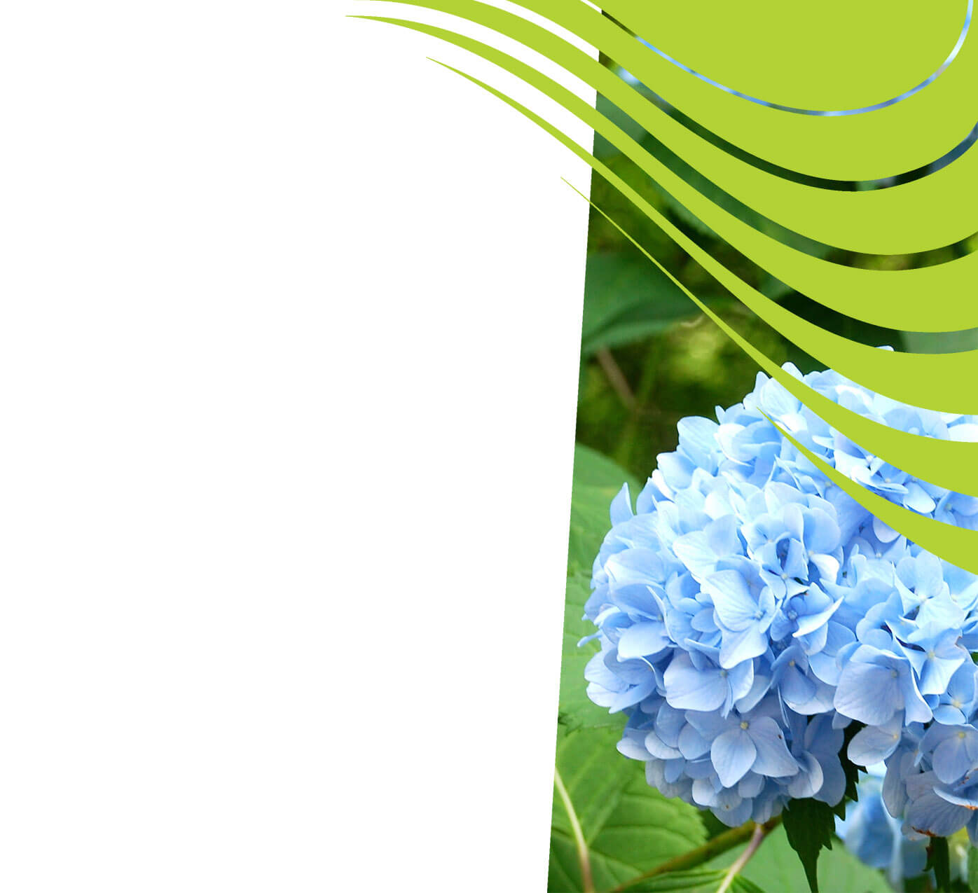 fertiliser for hydrangeas