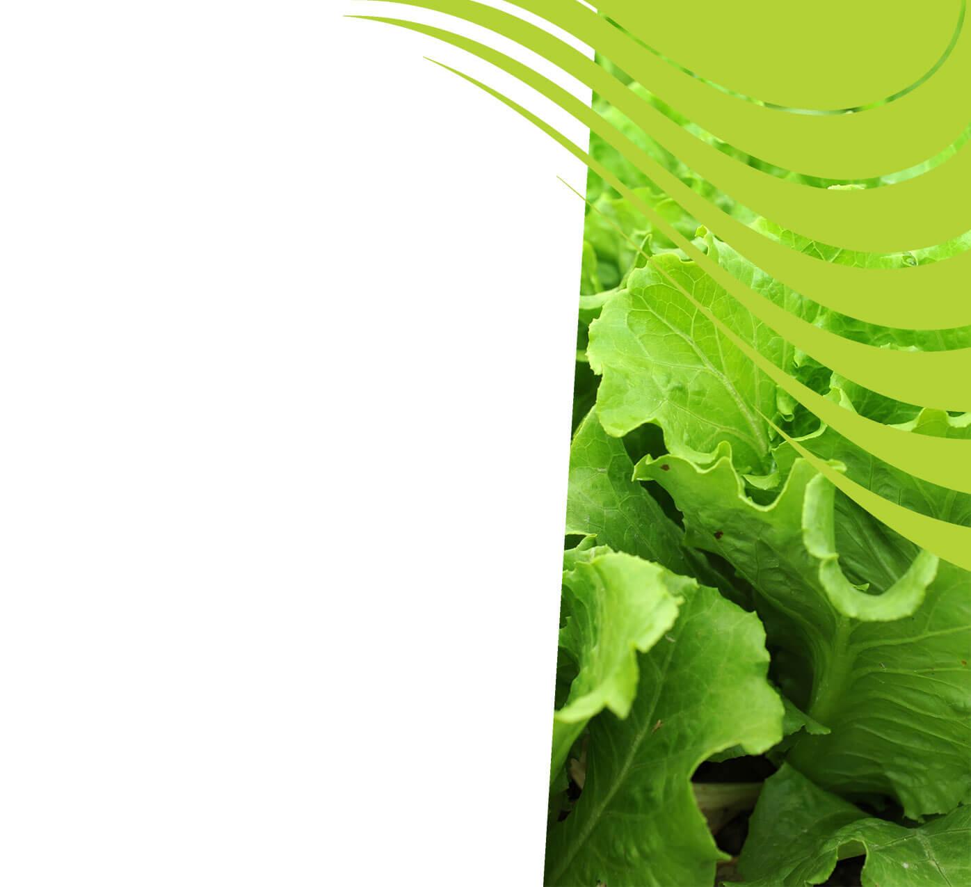 fertiliser for lettuce