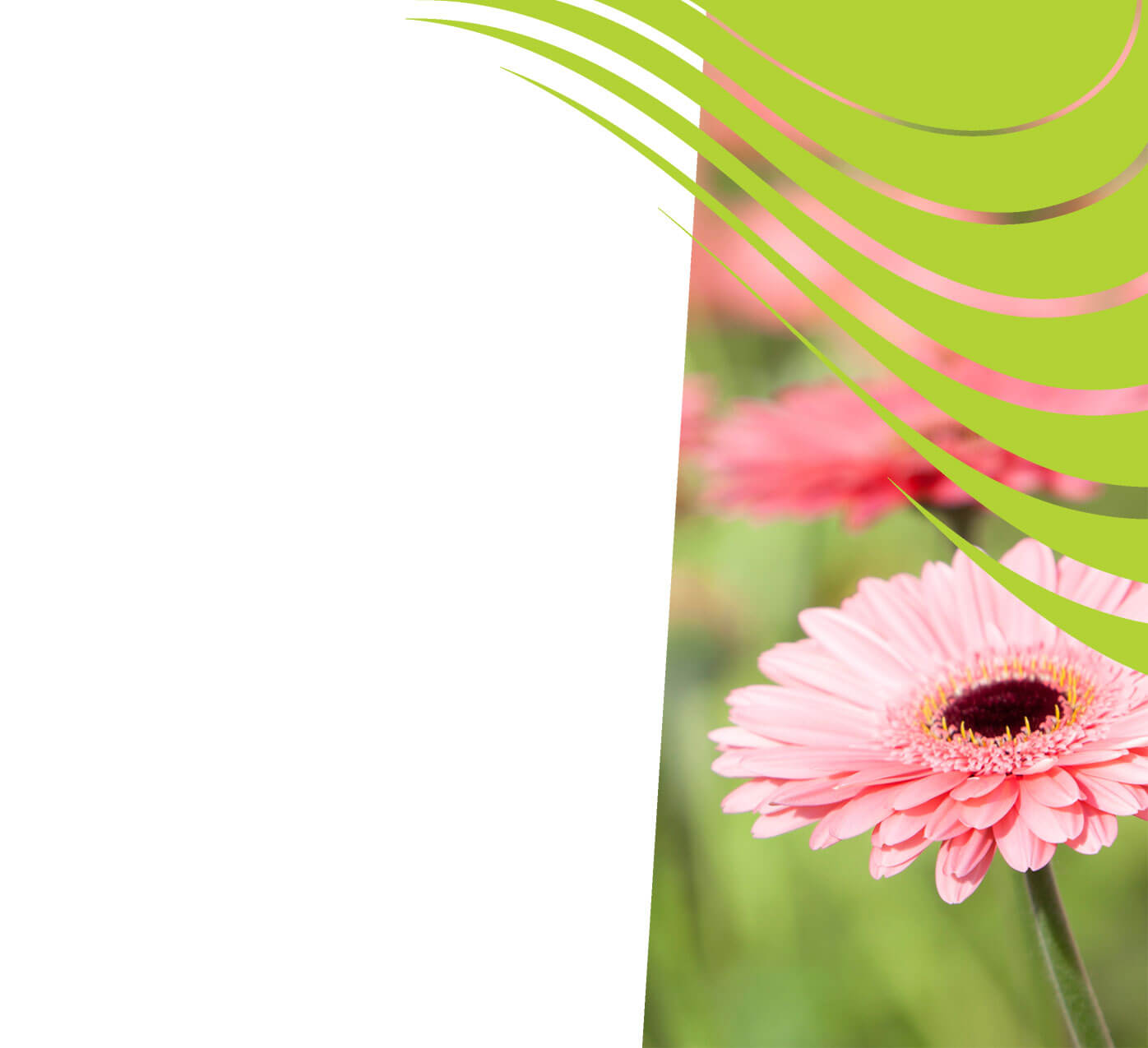fertiliser for gerberas