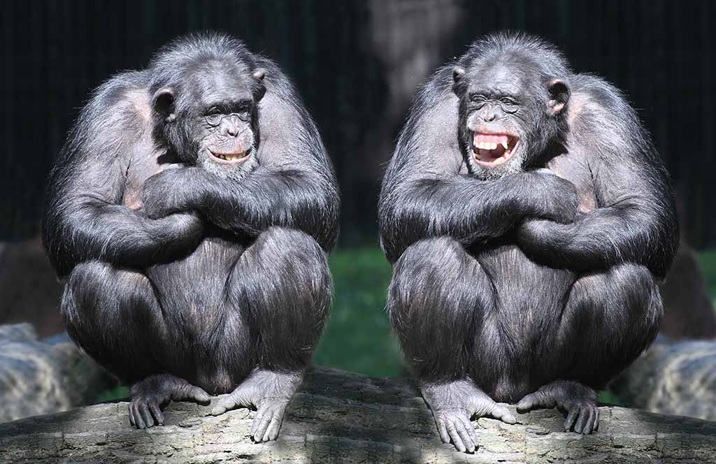 The brainiest animals are chimpanzees,