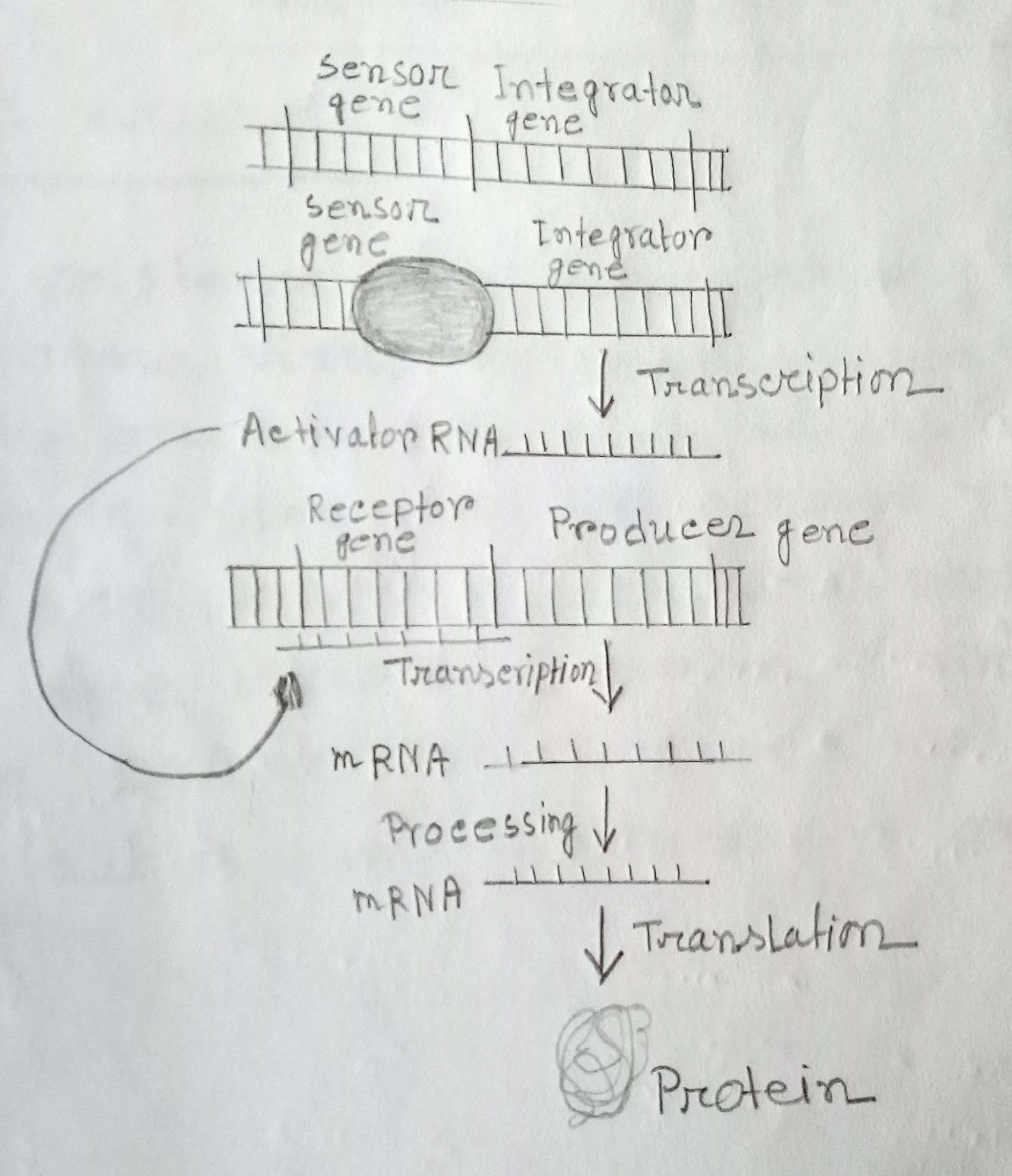 Britten-Davidson model of eukaryotic gene regulation. Interactions among different components of the machinery are shown