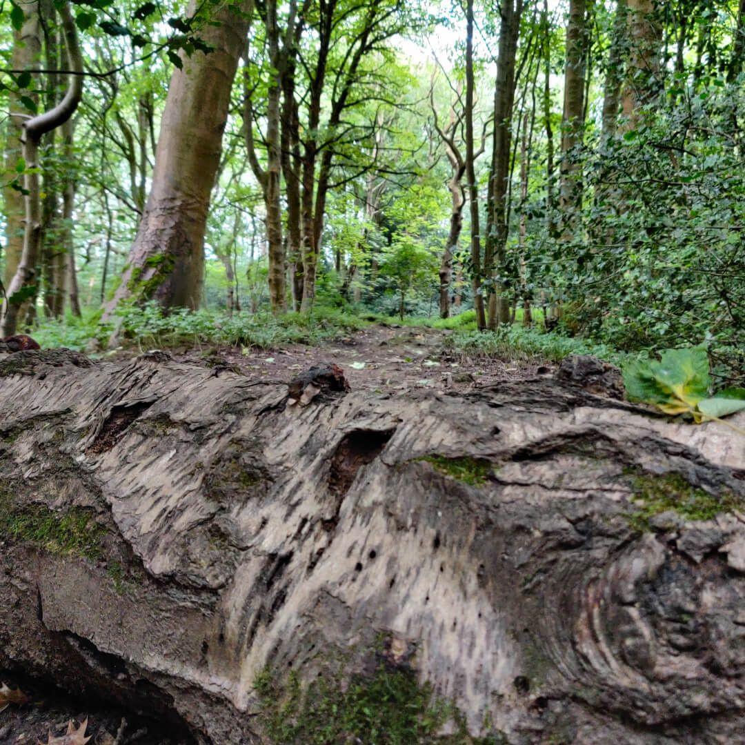 Calverley Wood fallen tree