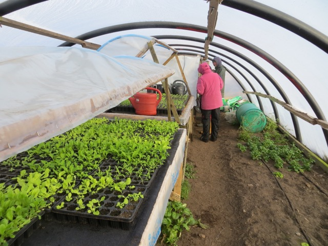 Inside one of the polytunnels