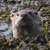 Shetland Otter Watching