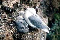 A Kittiwake with two chicks