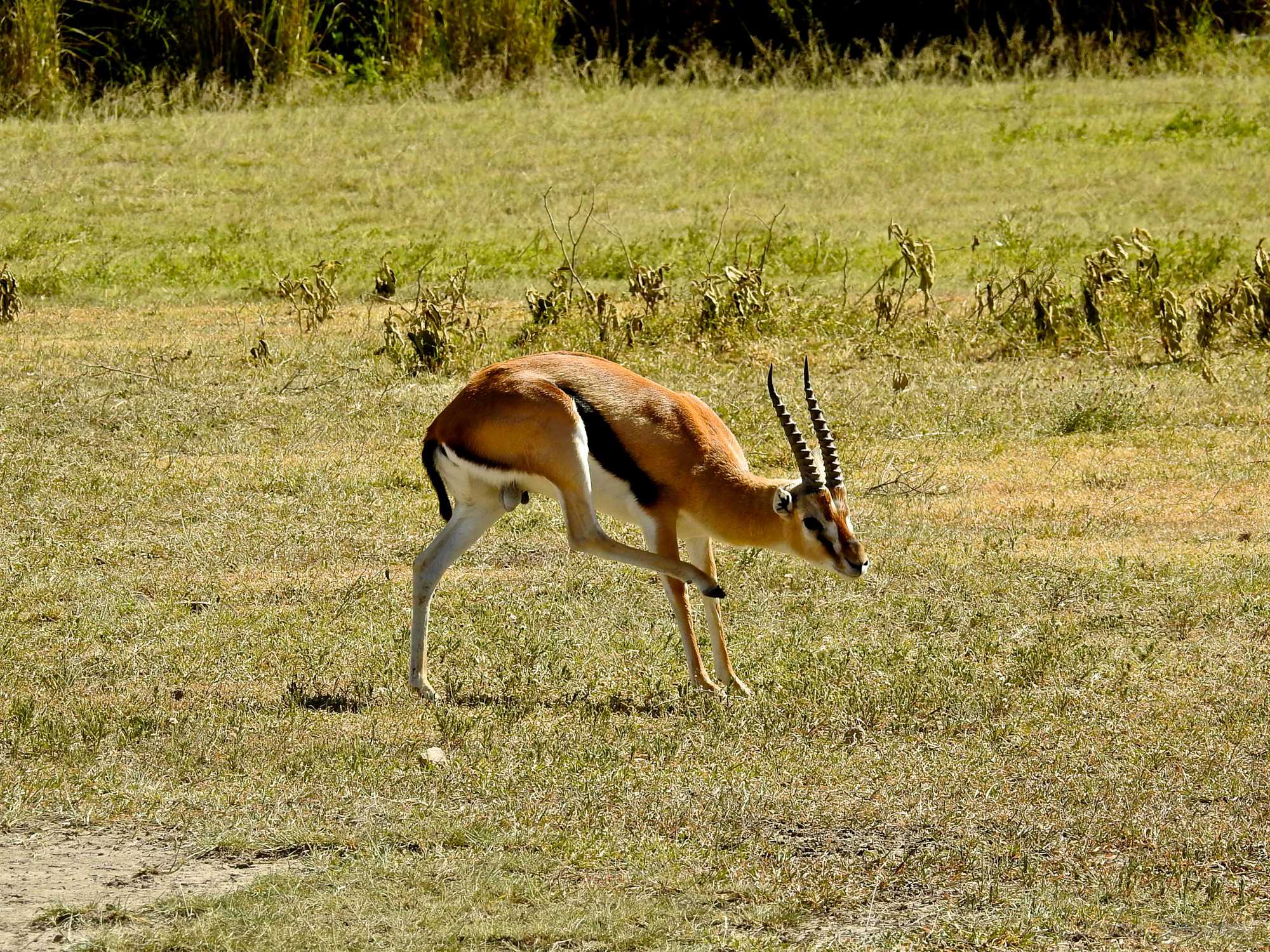 Tanzania Ngorongoro Crater Antilope