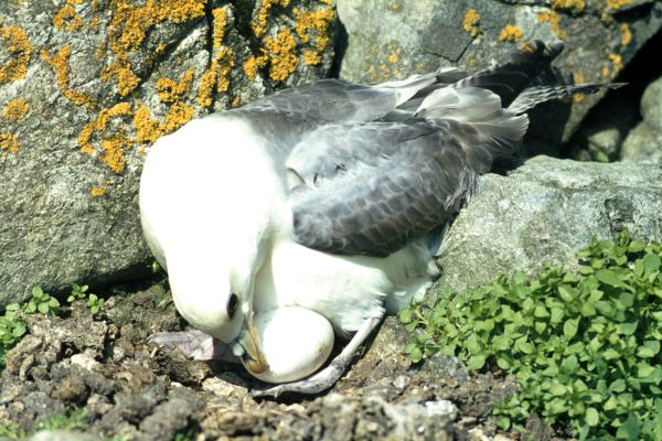 A Fulmar tends to her egg