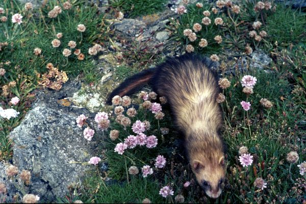 A Ferret crawls among the sea pink