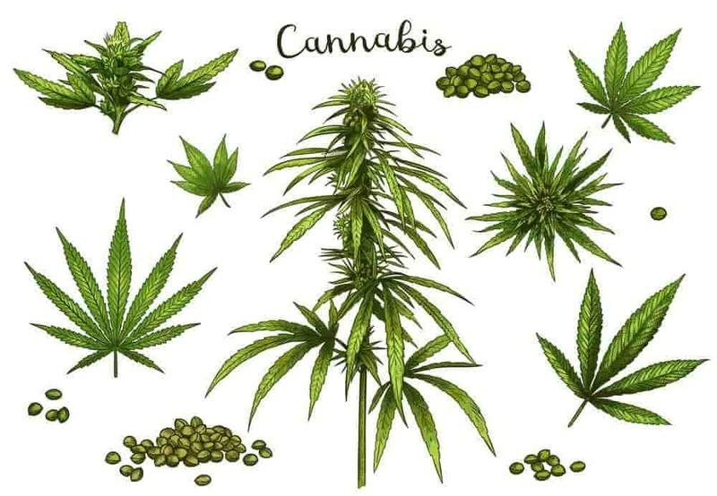 What is a cannabis plant?